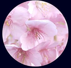 櫻花葉精華