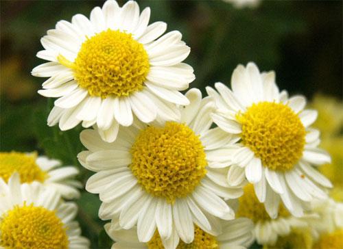 カミツレ花とヒキオコシ葉エキス