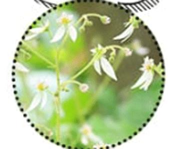 NULL WHITE(ヌルホワイト)に入っているユキノシタエキス