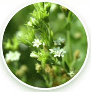 ハダリケアに含まれているステビア発酵エキス